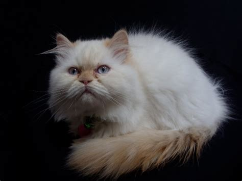 cat breeds  fluffy tails pictures  bushy tailed