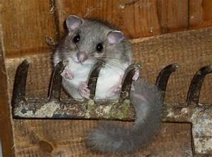 Que Mange Une Souris Dans Une Maison : le loir un rongeur qui s installe dans les toitures ~ Melissatoandfro.com Idées de Décoration