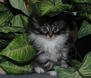 Black Silver Tabby and White Maine Coon Kitten | Skipton ...