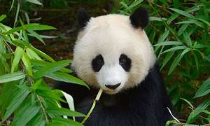 30 facts about Pandas you didn't know - Serious Facts