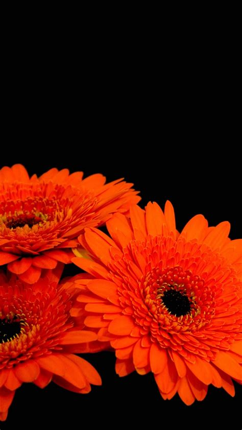 wallpaper gerbera flowers orange gerber daisies dark