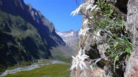 la stella alpina fiore la stella alpina il fiore delle alpi