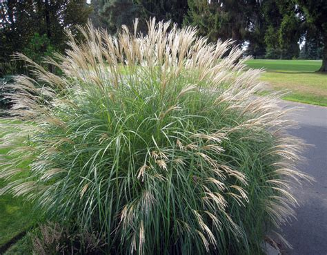 The Best Time To Divide Pampas Grass Is Spring, But It