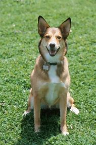 German Shepherd Dog Mix Breed