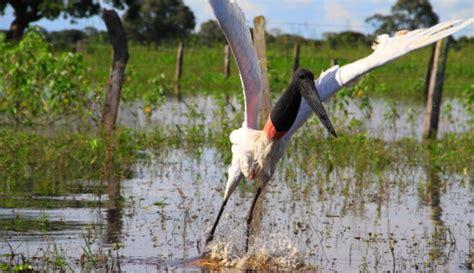 Iepazīsti Brazīliju: Pantanāla - pasaules biosfēras ...