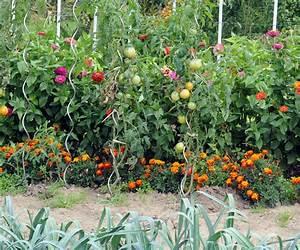 Plantes Amies Et Ennemies Au Potager : jardin avec association tomate oeillet potager pinterest ~ Melissatoandfro.com Idées de Décoration