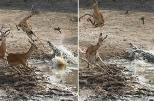 Blimey, That Made Me Jump! Impala Cheats Death By Inches