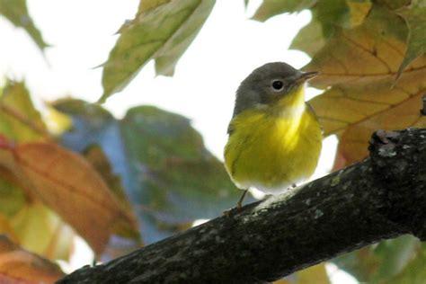 tweety bird    twee loulou downtown