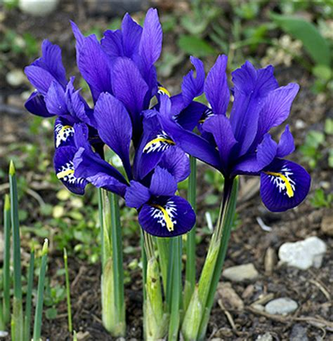 buy iris reticulata now bulbs for sale