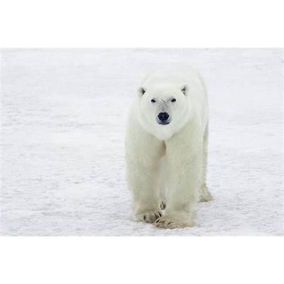 Polar Bear Ursus Maritimus Male Photograph by Matthias Breiter