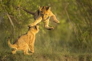 U00bb Fight Cub  Adorable Baby Lion Playfully Punches Sibling