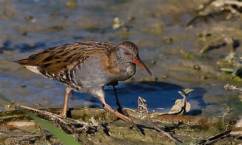 birds wading worldatlas