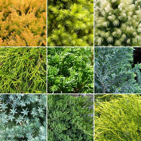 evergreen conifer collection quality mixed ornamental