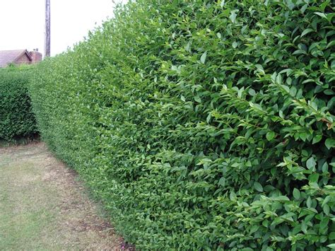 hedge plants 10 green privet hedging plants ligustrum hedge 40 60cm dense evergreen big pots ebay