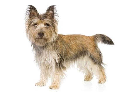 cairn terrier non shedding dogs non shedding dogs low shedding dogs with pictures