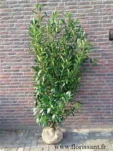 Arbuste Pour Haie Pas Cher : laurier 125 150 cm prunus caucasica arbustes pour haies pas cher ~ Nature-et-papiers.com Idées de Décoration