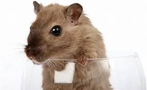Was Fressen Ratten : die h ufigsten krankheiten bei ratten ~ One.caynefoto.club Haus und Dekorationen