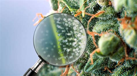 Exploring Trichomes, the Key to the Power of Cannabis