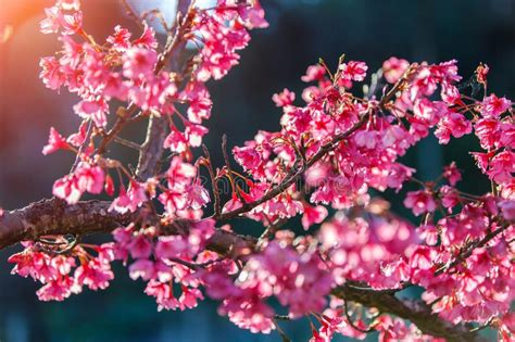 Branch Of Pink Cherry Blossom Sakura With Blue And Clear