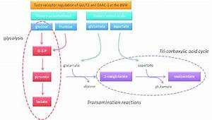 Basic Fl Ow Of Metabolites Involved In Intestinal Mucosal Metabolism