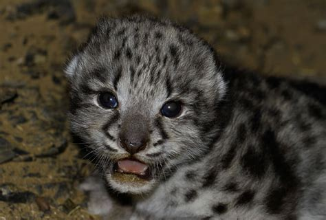 life cycle snow leopard trust
