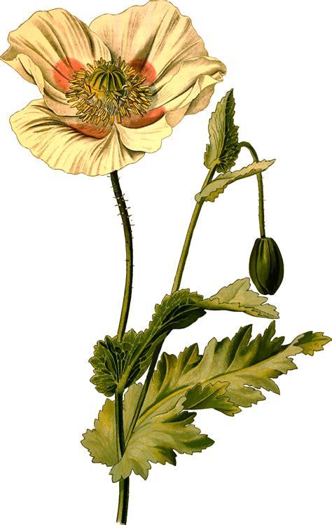 poppy clipart  flower poppy  flower transparent