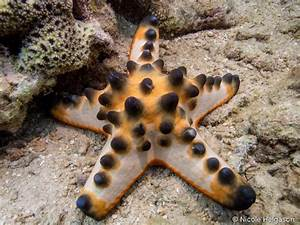 A Practical Feeding Guide For The Chocolate Chip Starfish