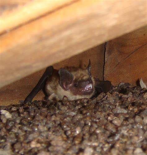hampshire bat removal  closer    nh bat