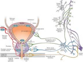 phosphodiesterases and innervation in the male lower
