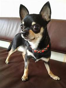 137 best images about Chihuahua black & tan on Pinterest ...