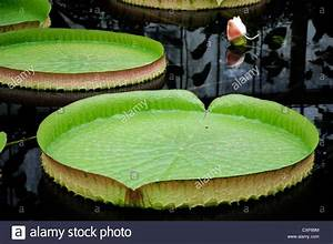 Victoria Cruziana Leaves Santa Cruz Water Lily Leaf Giant