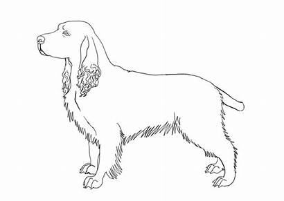 Spaniel Springer English Lineart Line Coloring Pages