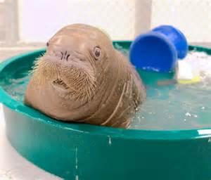baby walrus  board aquariums newest inhabitant flies