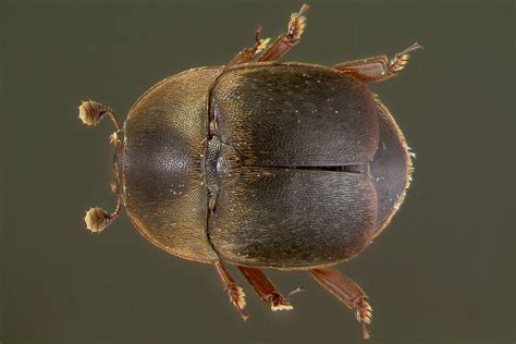 Small Hive Beetle - University of Florida, Institute of ...