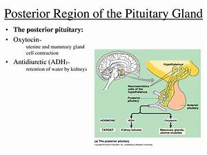 Ppt - Endocrine  Regulatory  System Powerpoint Presentation