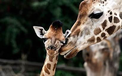 Giraffes Wallpapers Animals Giraffe Desktop Christmas Tablet