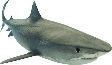 Shark Image Sharks Png Images Free Shark Png
