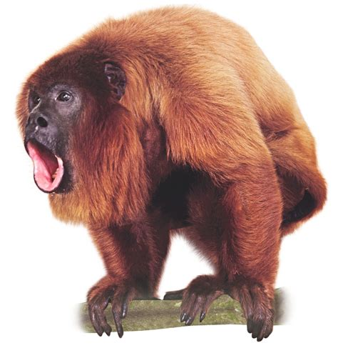 Howler Monkey Facts, History, Useful Information and ...