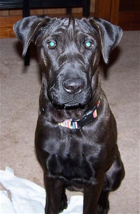 Do Shar Pei Lab Mix Shed by Lab Pei Breed Information And Pictures