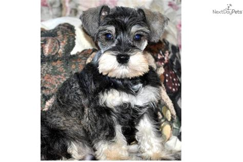 meet chuckles  cute schnauzer miniature puppy  sale