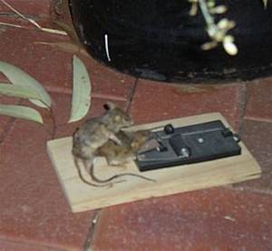 Comment Tuer Un Rat : comment attraper une souris sans la tuer page 2 ~ Melissatoandfro.com Idées de Décoration