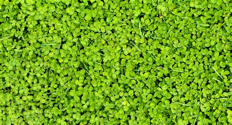 clover background  stock photo public domain pictures