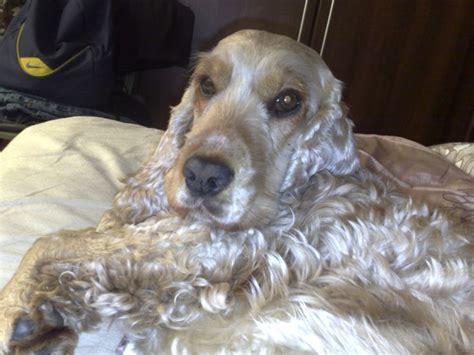 Spaniel Shedding by 100 Best Cocker Spaniel Shedding Dogs Images On