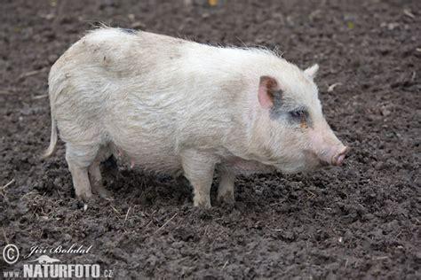 pot bellied pig pot bellied pig photos pot bellied pig images nature wildlife pictures naturephoto