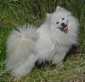 17 best ideas about american eskimo puppy on american eskimo japanese spitz and