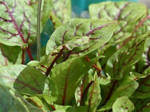 Weidenruten Zum Pflanzen Kaufen : sauerampfer samen zum pflanzen kaufen schon ab 0 89 ~ Lizthompson.info Haus und Dekorationen