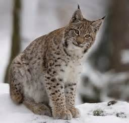 lynx cats lynx cat images lynx wallpaper and background photos