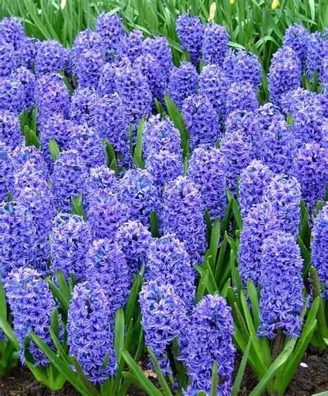Hyacinthus orientalis Blue Jacket - Hyacinthus orientalis