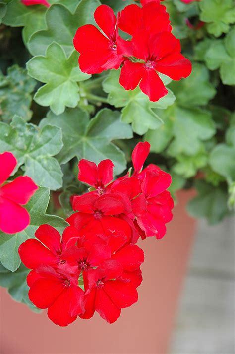 caliente deep red geranium pelargonium caliente deep red