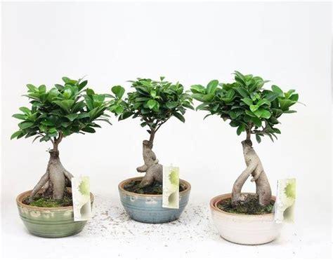 ficus ginseng bonsai bonsai ficus ginseng in retro ceramics florastore